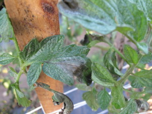 Cover photo for Pest News: Tomato Late Blight Alert