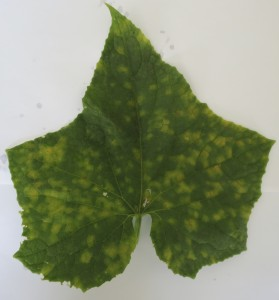 Cover photo for Do You Know How to Diagnose Cucurbit Downy Mildew in Different Cucurbit Crops?