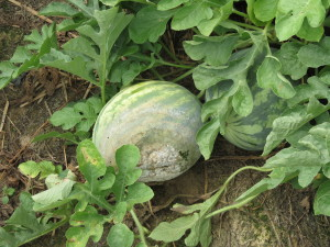 Cover photo for Are Your Cucurbits Infected With Phytophthora Capsici?