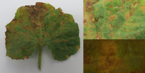 Cover photo for Cucurbit Downy Mildew Outbreak in Southeastern North Carolina