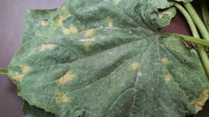 Cover photo for Cucurbit Downy Mildew Found in Franklin County, North Carolina