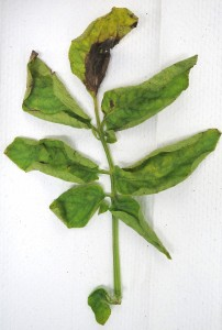 Cover photo for Potato Late Blight Outbreak in Eastern North Carolina