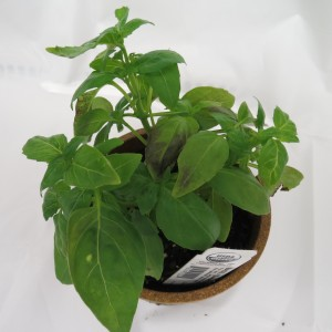 Cover photo for Basil Downy Mildew Reported in North Carolina