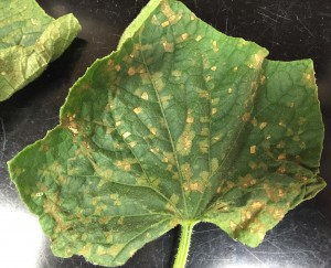 Cover photo for Cucurbit Downy Mildew Found in Ashe and Haywood Counties