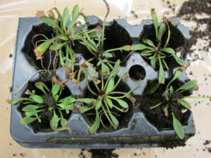 "Small coreopsis plugs with ""burn"" of leaf tips."