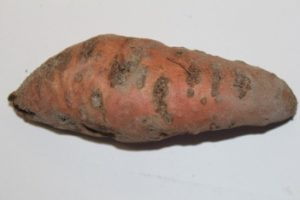 Meloidogyne enterolobii root knot damage on sweetpotato (Dr. Weimin Ye, NCDA&CS)