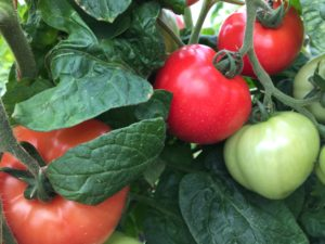 Cover photo for Vegetable Production Update-April 13th, 2018