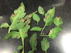 Lesions caused by Phytophthora capsici on tomato foliage