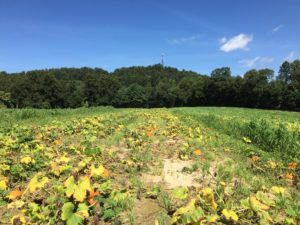 Pumpkin field affected by Phytophthora root rot (P. capsici)