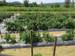 Phytophthora capsici causing bell pepper plants to wilt