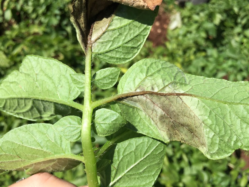 Late blight on potato