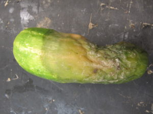 Phytophthora blight on cucumber