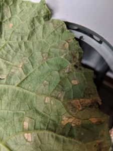 Underside of cucumber leaf showing downy mildew symptoms. Photo by K. Blaedow