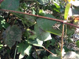 False Mildew on Cotton