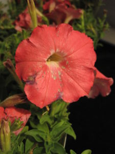 Spots on petunia flower caused by Botrytis gray mold