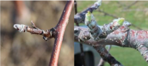 Cover photo for 2020 Apple Disease Update: Late Silver / Green Tip