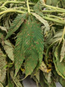 hemp leaves with leaf spots