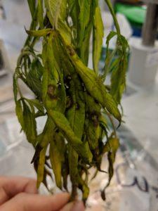 Fusarium leaf spot