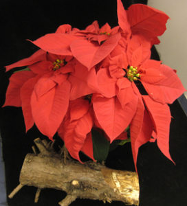Poinsettia in bloom, next to stump with Armillaria under the bark