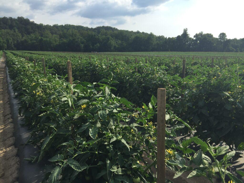 Healthy tomato field