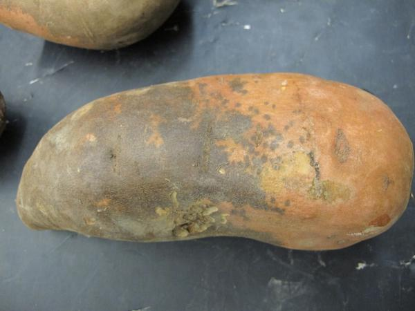 Sweetpotato scurf produces brown lesions over the surface sweetpotato roots (NC State Plant Disease and Insect Clinic)