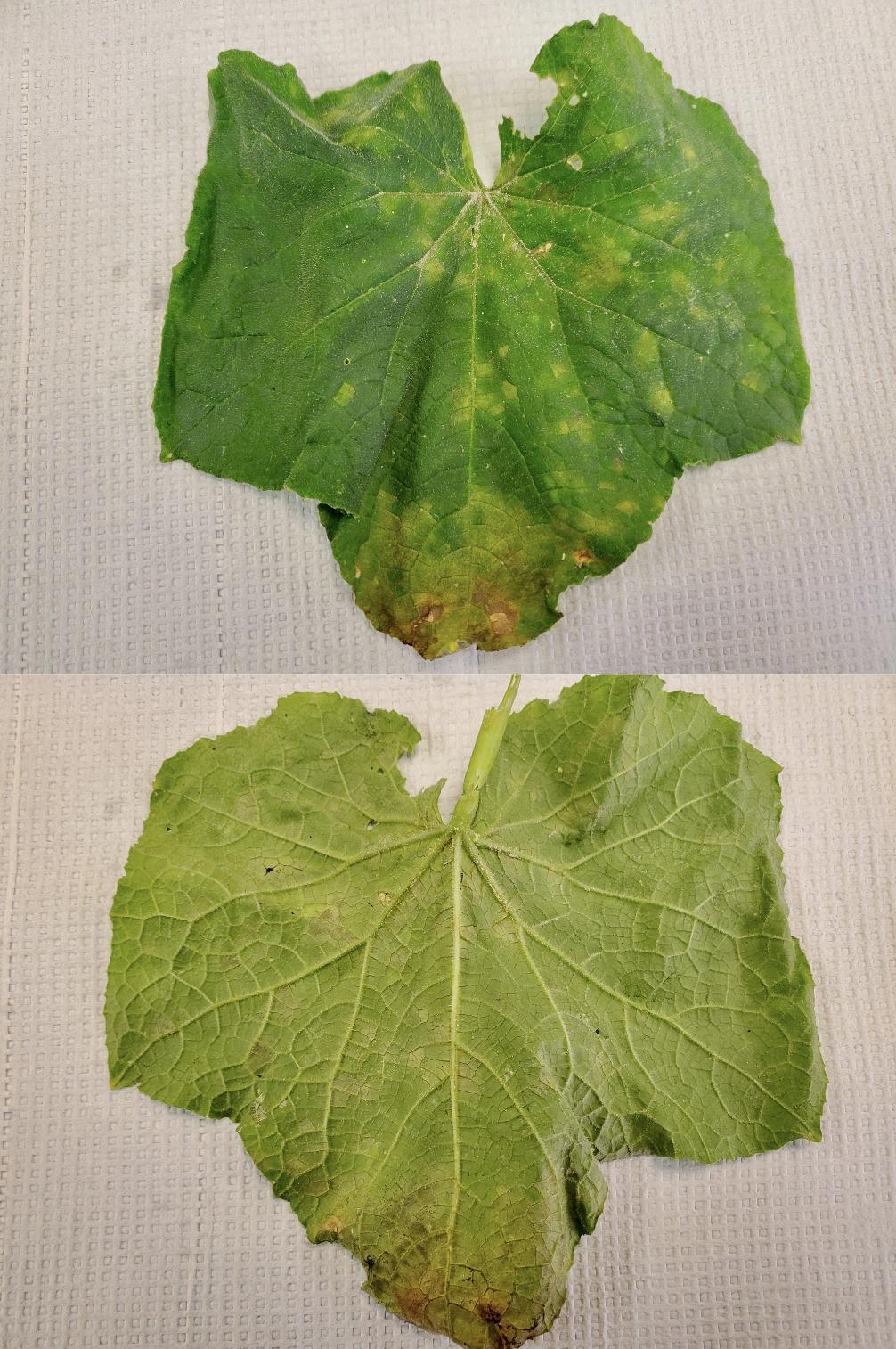 symptoms on upper and bottom side of leaf