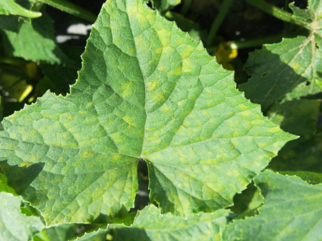 Cucumber downy mildew